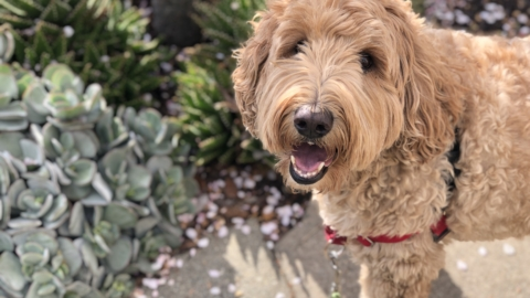 Labradoodle under a blossoming tree looking up at camera