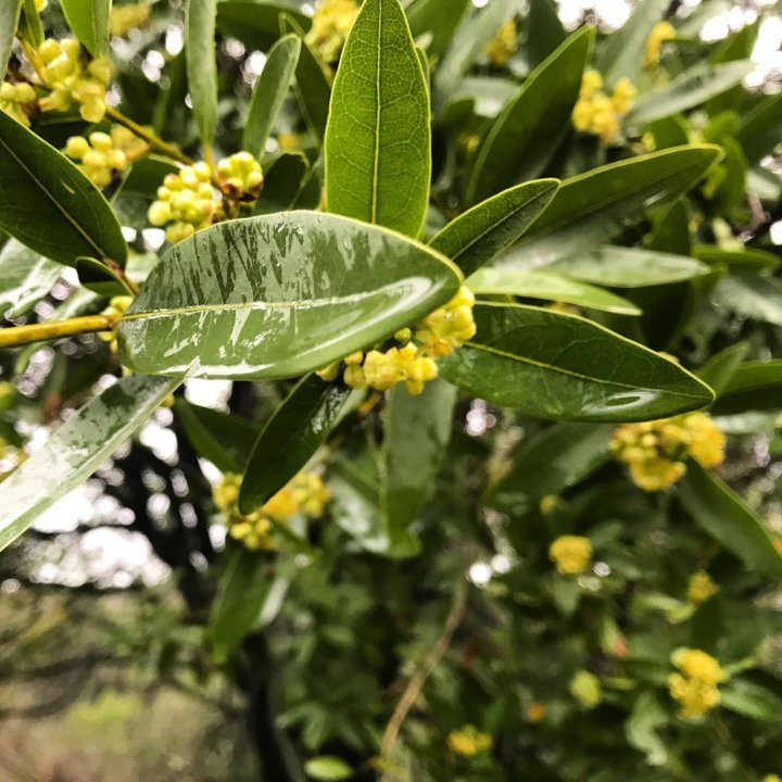 A close-up of bay laurel leaves and flowers.