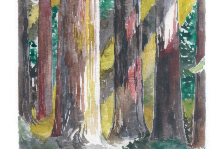 drawing of Sequoia trees