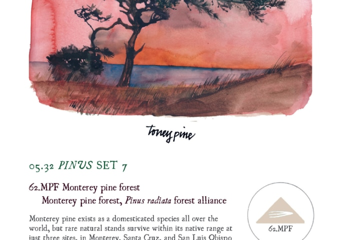 drawing of torrey pine tree