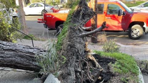 an uprooted pine tree showing its roots in front of a street and red truck