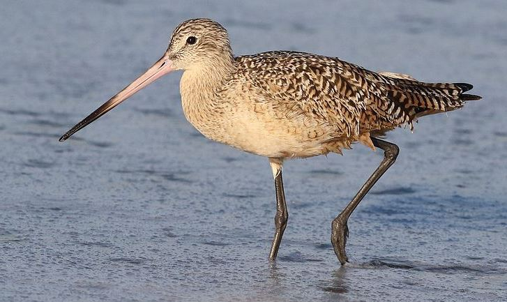 Marbled Godwit shorebird