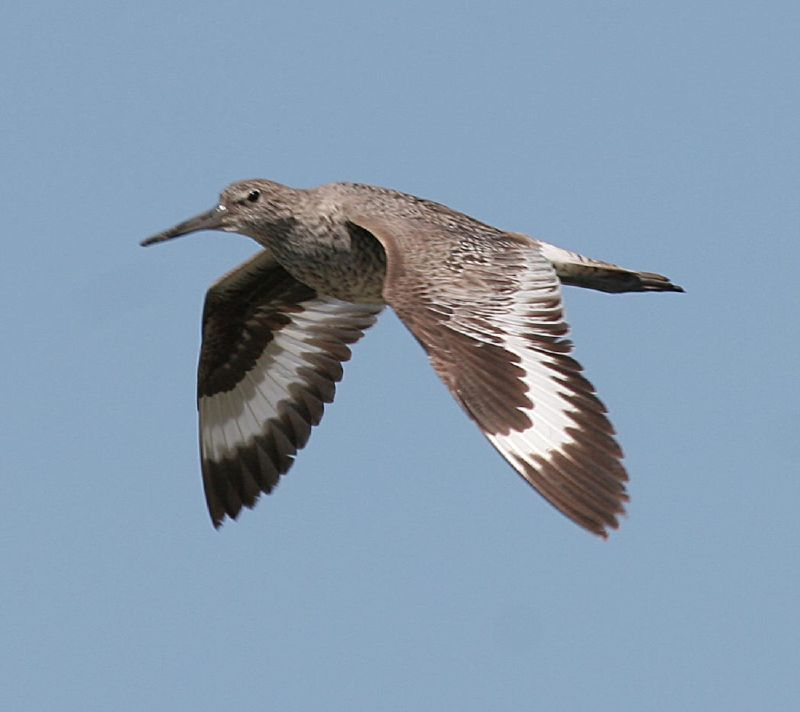 A Willet shorebird in flight