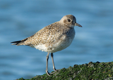 Black Bellied Plover shorebird
