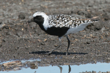 Black Bellied Plover shorebird in summer plumage