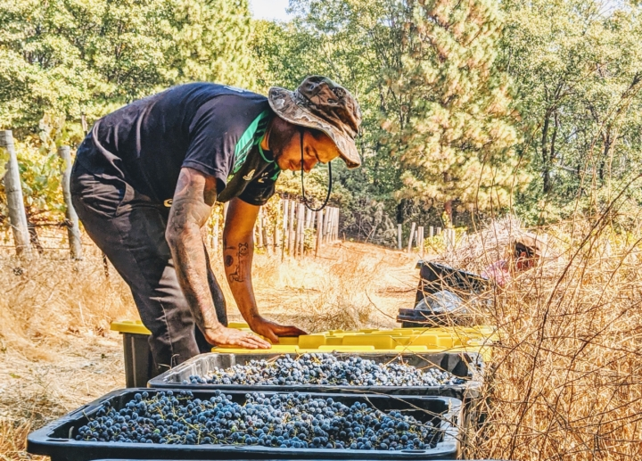 Andres Giraldo Florez, owner of Snail Bar, stands over vats of grapes in a vineyard.