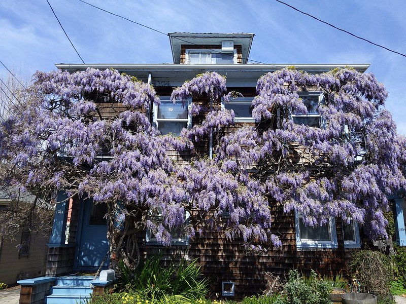 Huge wisteria vine in bllom on brown shingle house