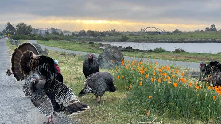 Turkeys in the spring near blooming poppies.