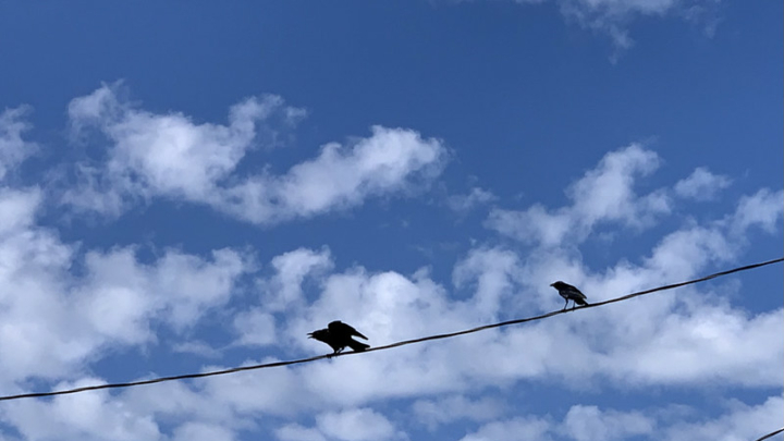 crows sitting on a telephone wire with blue sky behind them